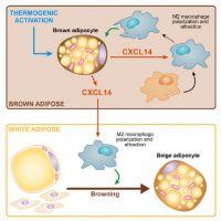 Descubren que la proteína CXCL14 es secretada por el tejido adiposo marrón y podría tener un efecto beneficioso sobre la obesidad y la diabetes