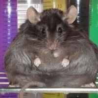 Ratones obesos pierden ansiedad cuando se eliminan las
