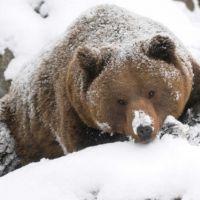 La obesidad saludable de los osos, el superpoder que la ciencia quiere desentrañar