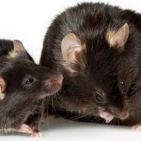 La dopamina, reguladora del placer, es una de las claves de la obesidad